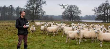 Fazendeiro treina ovelhas para que associem drone a alimentos