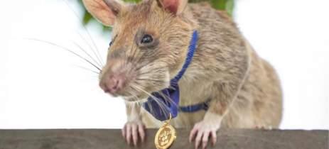 Rato ganha medalha de ouro por encontrar 39 minas terrestres
