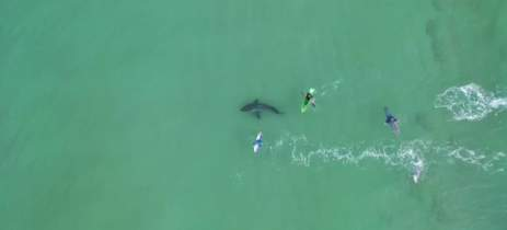 Drone captura imagens de tubarão branco nadando perto de surfistas