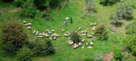 Fazendeiros estão utilizando drones para guiar ovelhas
