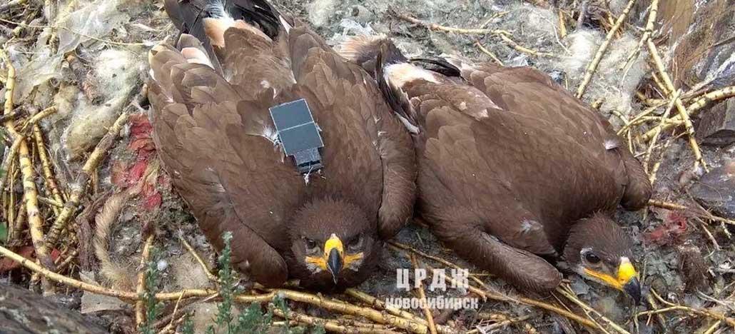 Estudo de migração de águias gera dívida enorme ao utilizar SMS