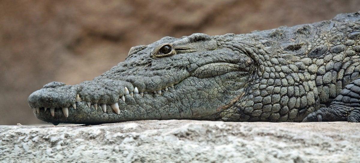 Vídeo mostra drone sendo atacado por crocodilo durante voo rasante