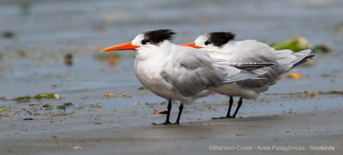 Drones caem em reserva de andorinhas do mar e causam a perda de 1.500 ovos
