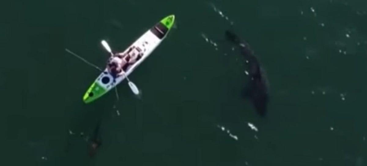 Drone filma grande tubarão branco perto de pescador na Austrália
