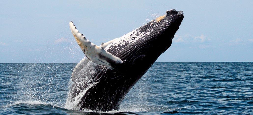 Associação de Ecoturismo do Cabo Verde usa um Mavic Air para observar baleias