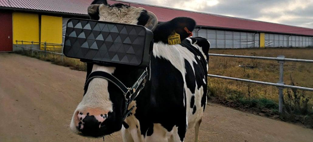 Fazendeiros começam usar óculos de realidade virtual em vacas