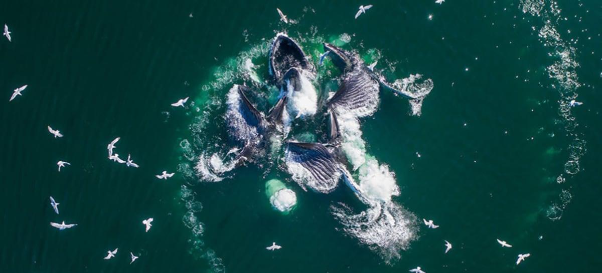 Drone captura pela primeira vez imagens de jubartes se alimentando por rede de bolhas na Austrália